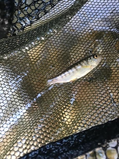 BC Hydro killing too many fish at Sea to Sky facility: Squamish conservationists_4