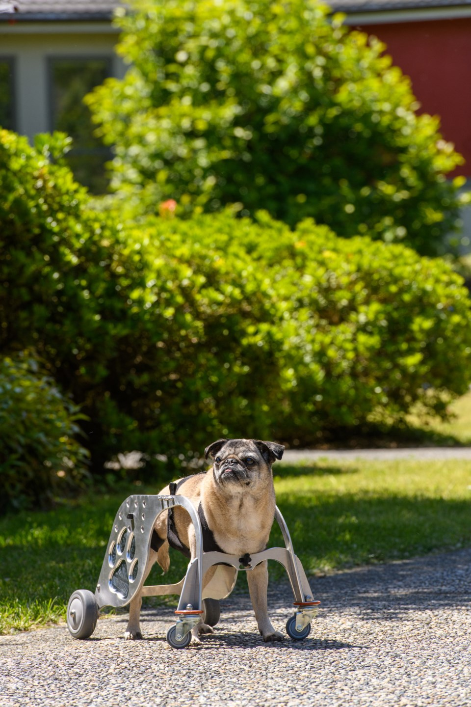 BCIT-Dog Wheelchair 22.jpg