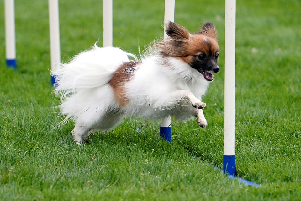 Kizzy, a four-year-old papillon, runs the agility course.