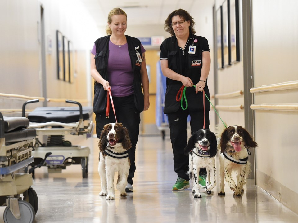 It takes nine months to a year to train English springer spaniels to detect C. diff. Photo Dan Toulg