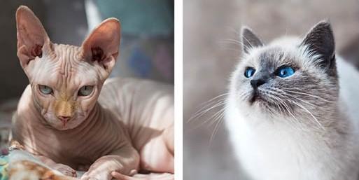 hairless cat, beautiful cat, stock photos