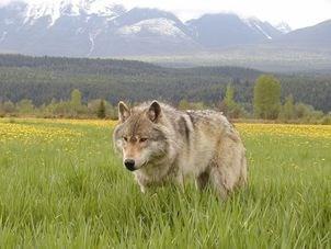 wolf-cull.14_9132019.jpg