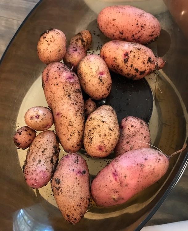 Potato Clancy