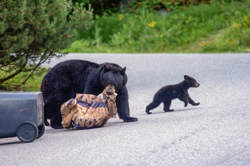 A Coquitlam resident snapped this picture in his Heritage Mountain neighbourhood of a mother bear an