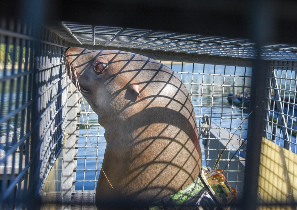Sitka is taken up Burrard inlet on a boat. She could swim to the deep fjords of Indian Arm, say trai