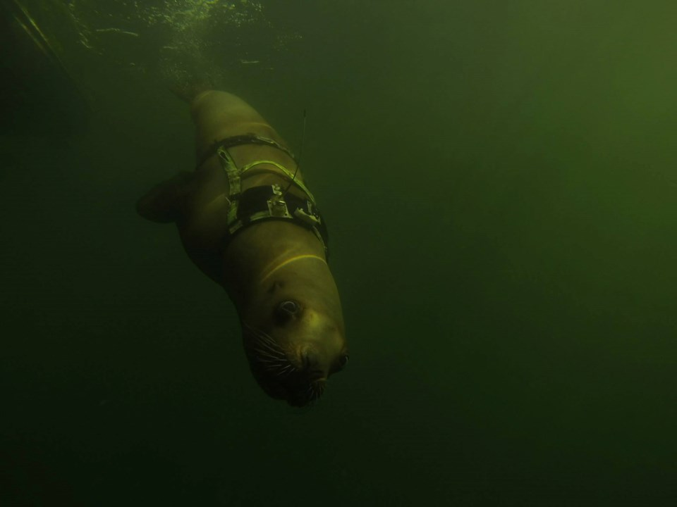Steller sea lions are sensitive to the environment around them, and upcoming construction to expand