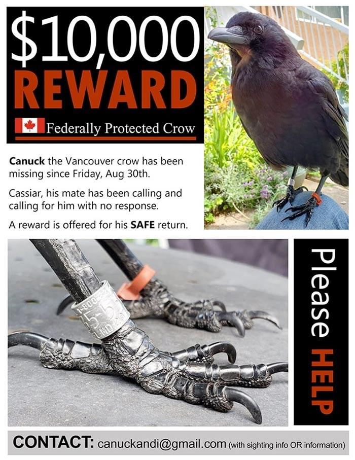 canuck the crow reward