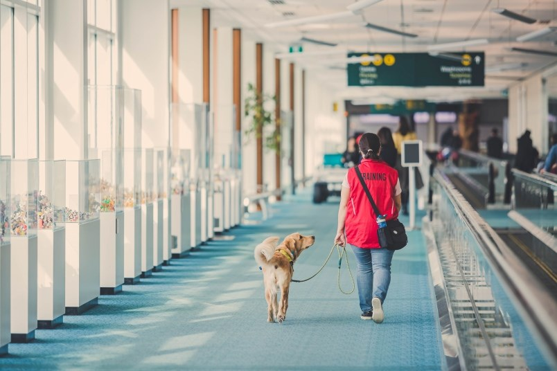 A service dog in training was accompanying a handler to walk through the airport during a familiarization tour at YVR. Photo submitted