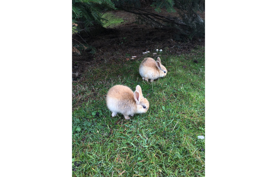 rabbits yvr