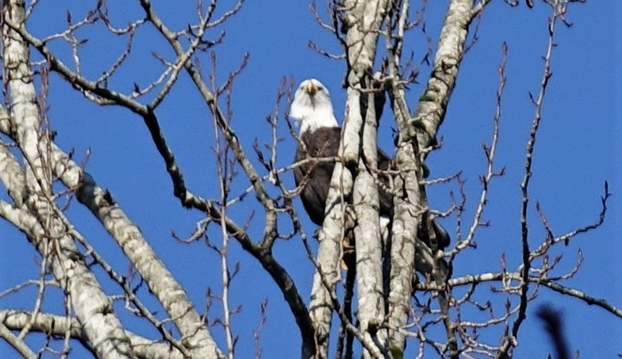A Burnaby Lake eagle hanging around the new nest. John Preissl photo