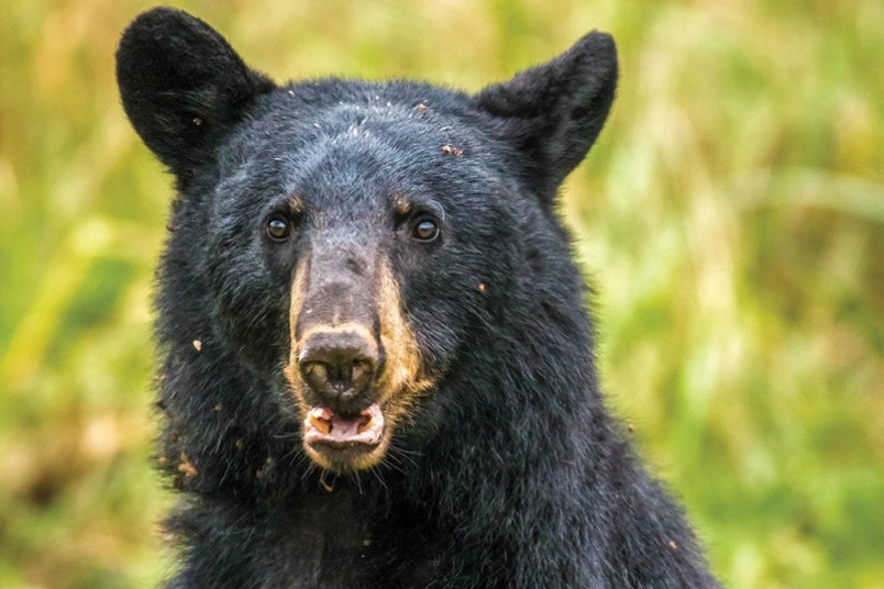 As many as 30 bears were destroyed in Coquitlam, Port Coquitlam and Port Moody, and one bear was eut