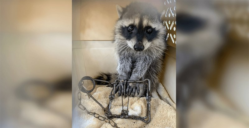 Raccoon trap