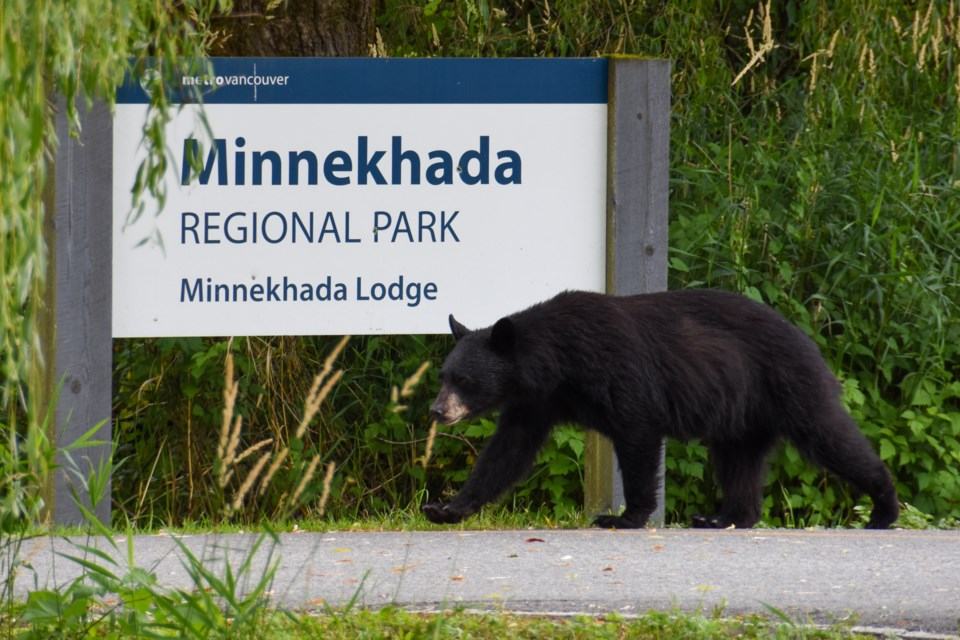 A young black bear wanders past the entrance of Minnekhada Regional Park during a shutdown due to in