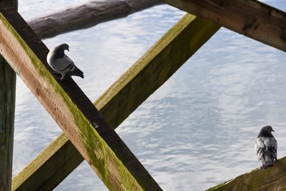 Every bird and species is tallied during the Christmas Bird Count, even pigeons hiding under a pier.