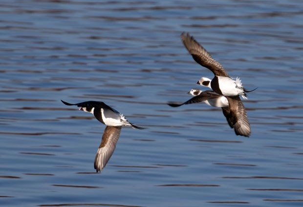 Long-tailed Ducks in flight