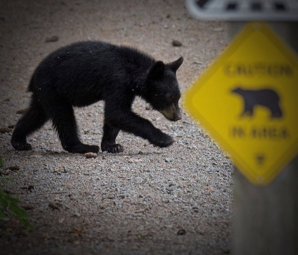 A local wildlife photographer captures a black bear cub at an undisclosed location in the Tri-Cities