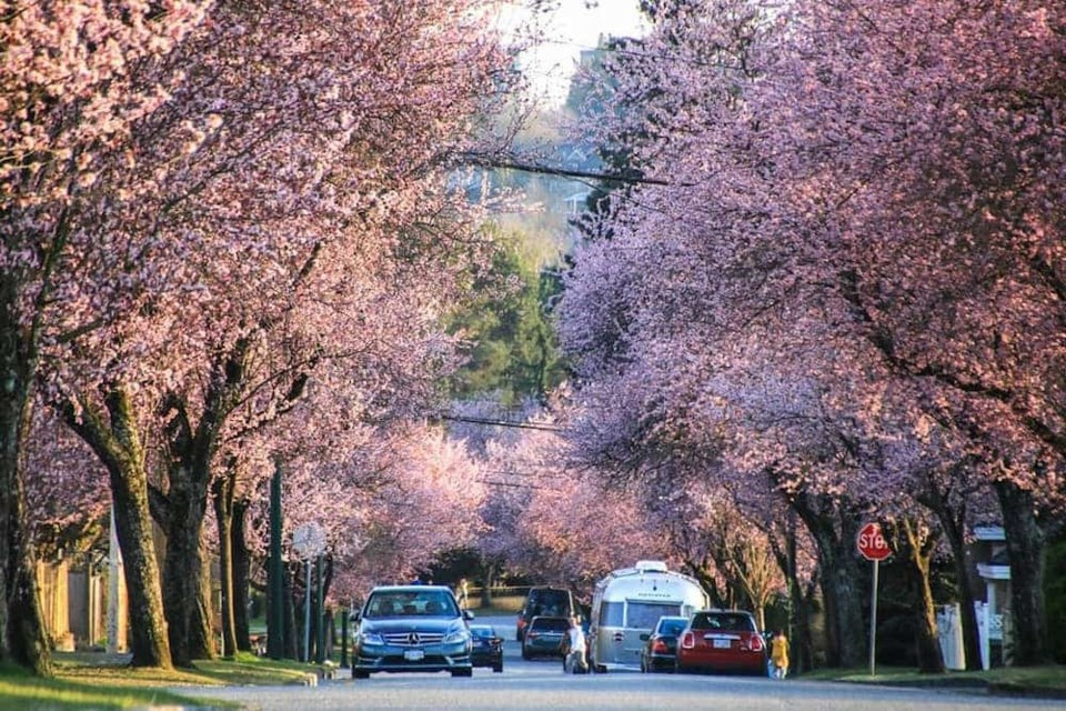 24 Cherry Blossom Shots In Vancouver That Will Take Your Breath Away Photos New West Record