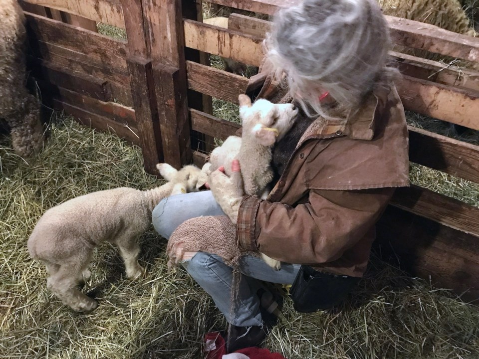 Rosie holding a lamb with a lamb beside her in a barn
