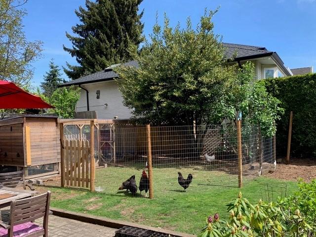 burnaby backyard chickens