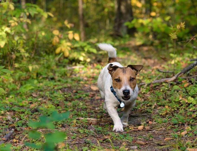 Dog walks down a trail off-leash