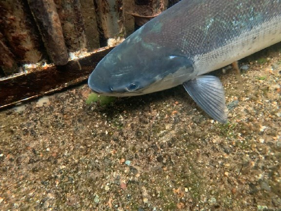 This healthy sockeye salmon was spotted in a trap by the Coquitlam Dam
