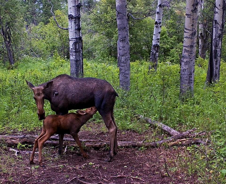 moose-calf-feeding-saugstad
