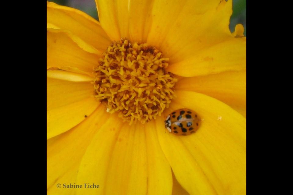 Ladybug strolling across a coreopsis. Photo: © Sabine Eiche