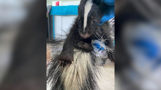 The young skunk, before it had to be put down. Critter Care photo