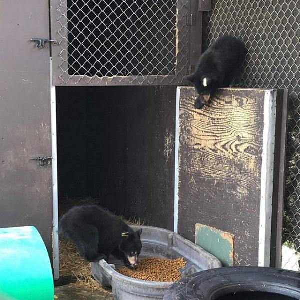 Critter Care bear cubs