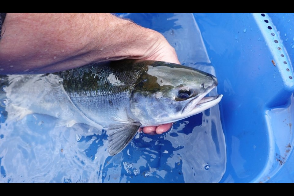 Only the second sockeye salmon found this year in the Coquitlam River is a sign that the species has a long way to go in the river — and the future plans for the Coquitlam Dam complicate those efforts.
