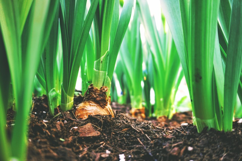 Onion growing out of the ground.