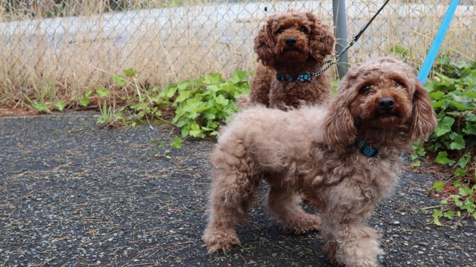 Two poodle-like dogs were among the 10 animals that the Regional Animal Protection Society found at an abandoned home in Richmond on Friday. Photo: RAPS
