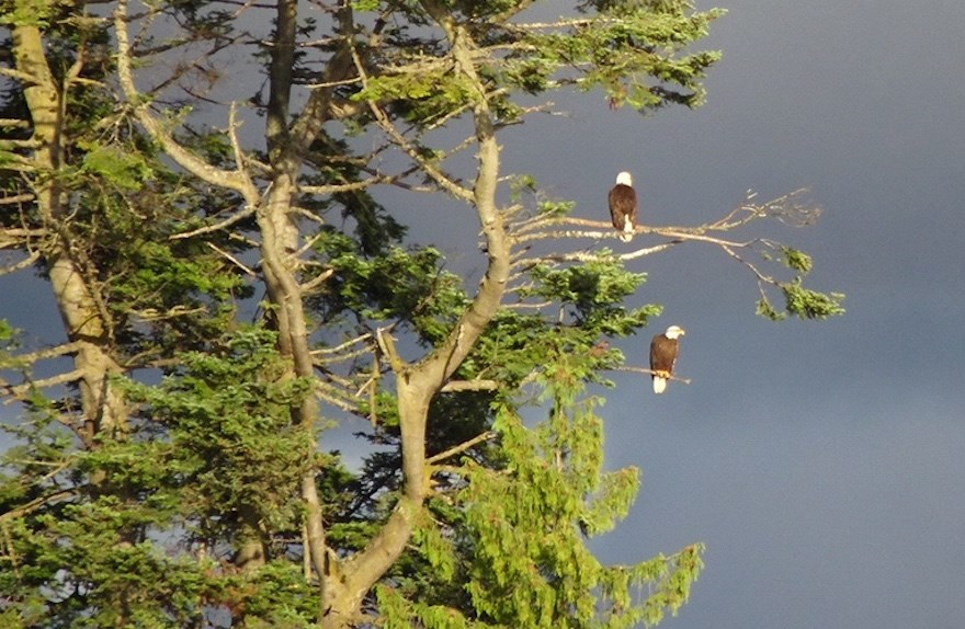 Stearman beach bald eagles perch