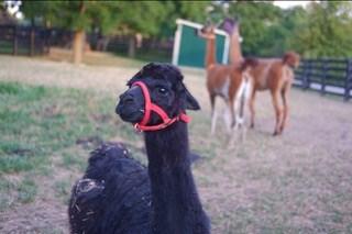 maple the llama