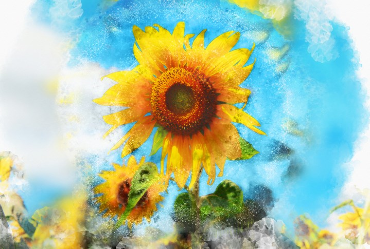 sunflower-gettyimages