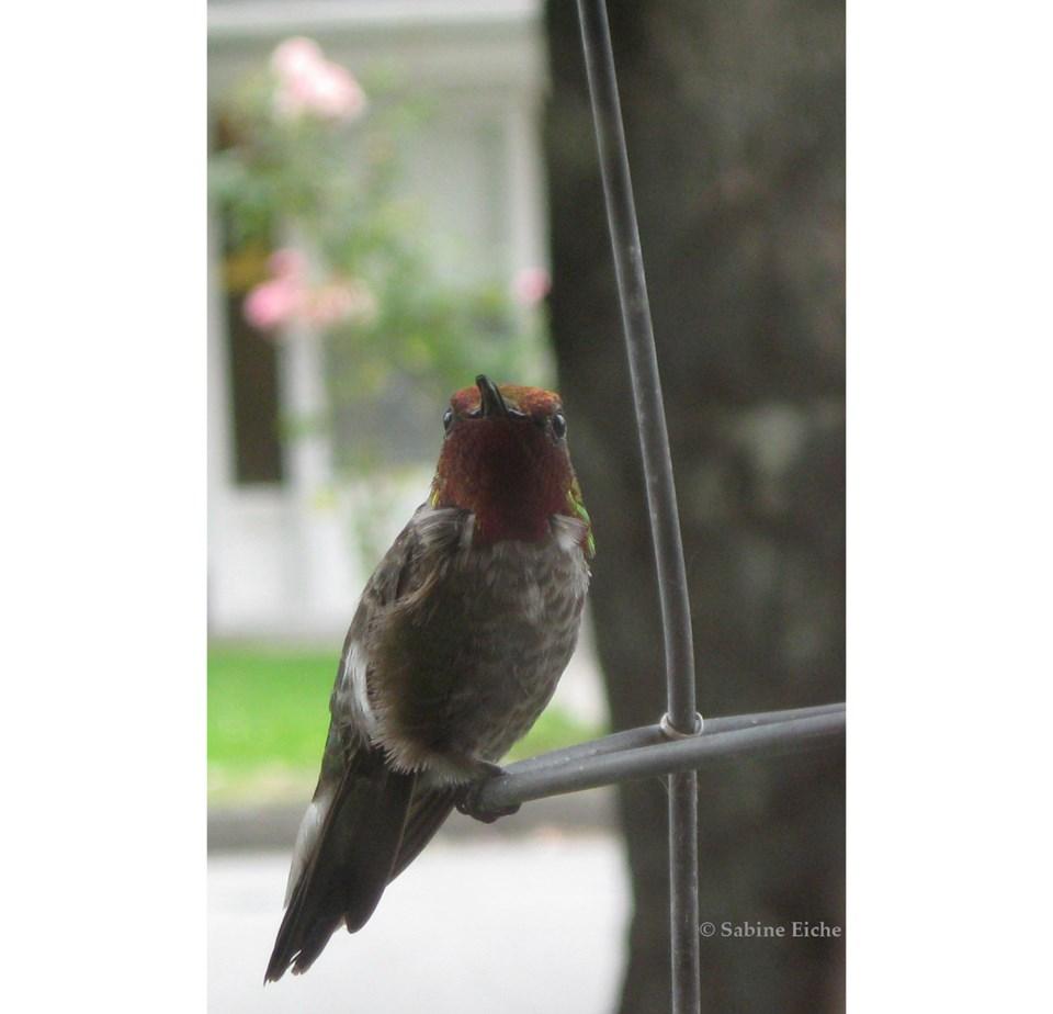 hummingbird sabine eiche