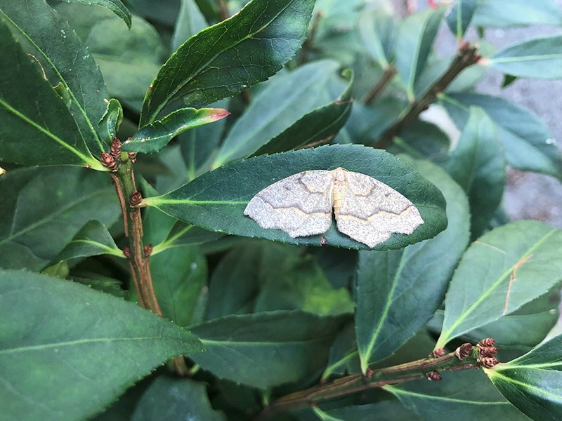 Moths Powell River