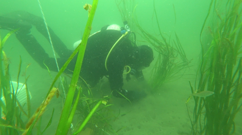 This year's eelgrass transplant is smaller and if it takes, SeaChange will return next year to do more transplanting says the project's regional director Fiona Beaty.