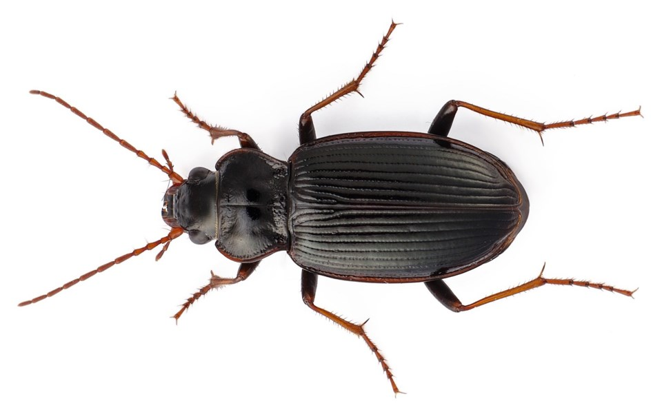 beetle douglas college science