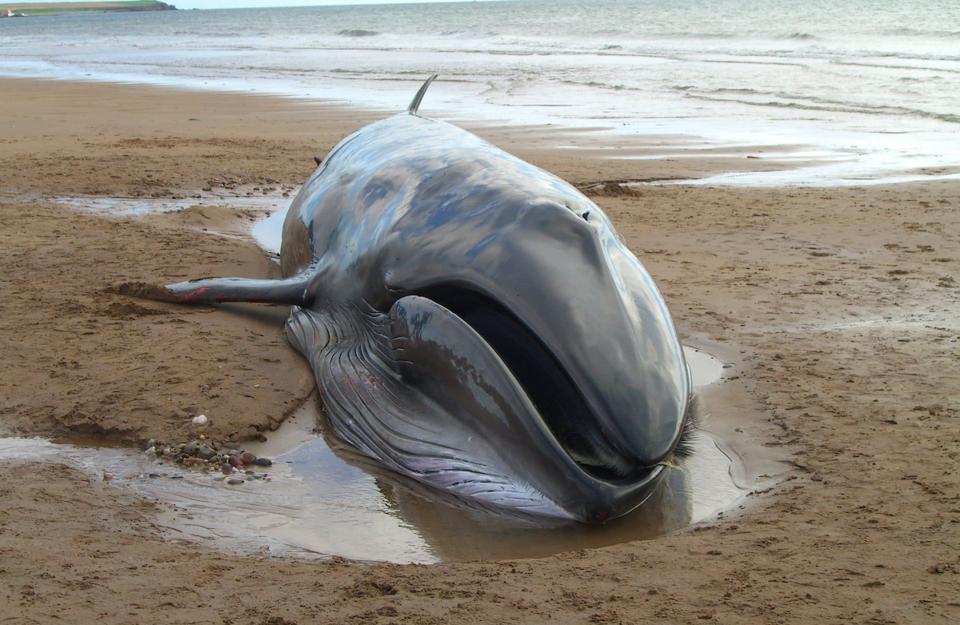 Sei whale beached
