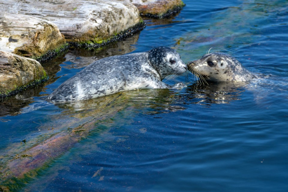 A pup and its mother harbour seal at the Flavelle sawmill log booms. The rafted logs served as a pupping grounds for seals for decades until they were recently removed.