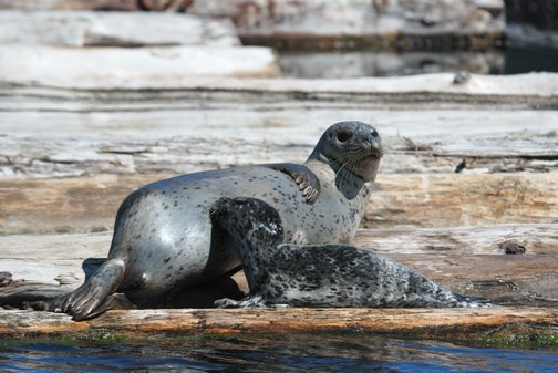 A mother and her pup on the log booms off Flavelle sawmill. It's uncertain where mothers will now go