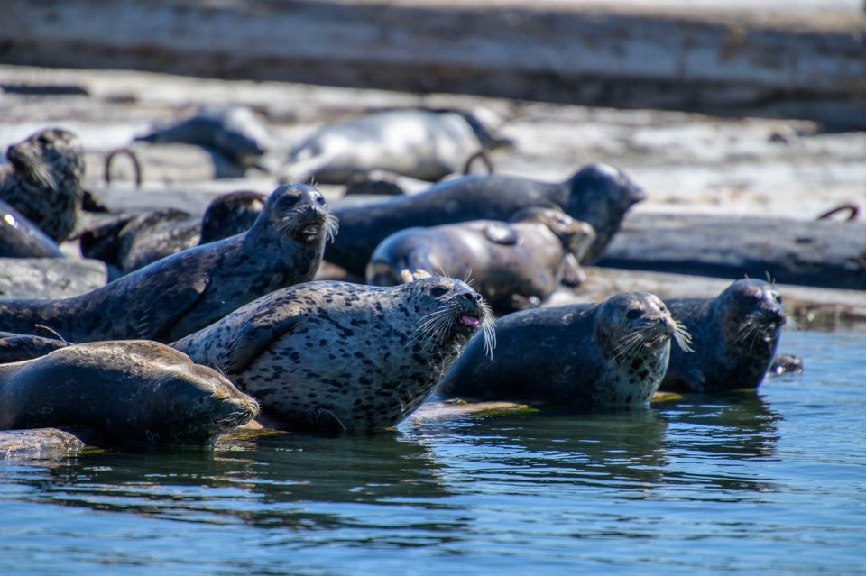 A group of Harbour seals line up to watch passing boaters. Beyond a habitat for pupping seals and fi