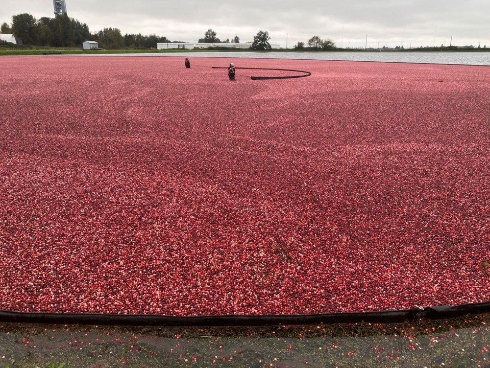 Video: Richmond cranberry harvest in full swing _0