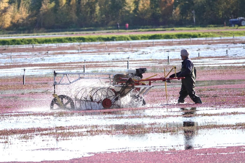 Burnaby photographer Glen Govier spent some time documenting the latest cranberry harvest at Mayberry Farms in South Burnaby. Photo Glen Govier