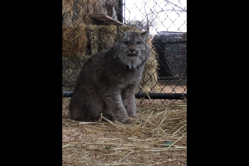 Animal care manager Tracy Reynolds confirmed the lynx is the same wildcat that was spotted wandering North Kamloops in broad daylight on Sunday, Oct. 25.