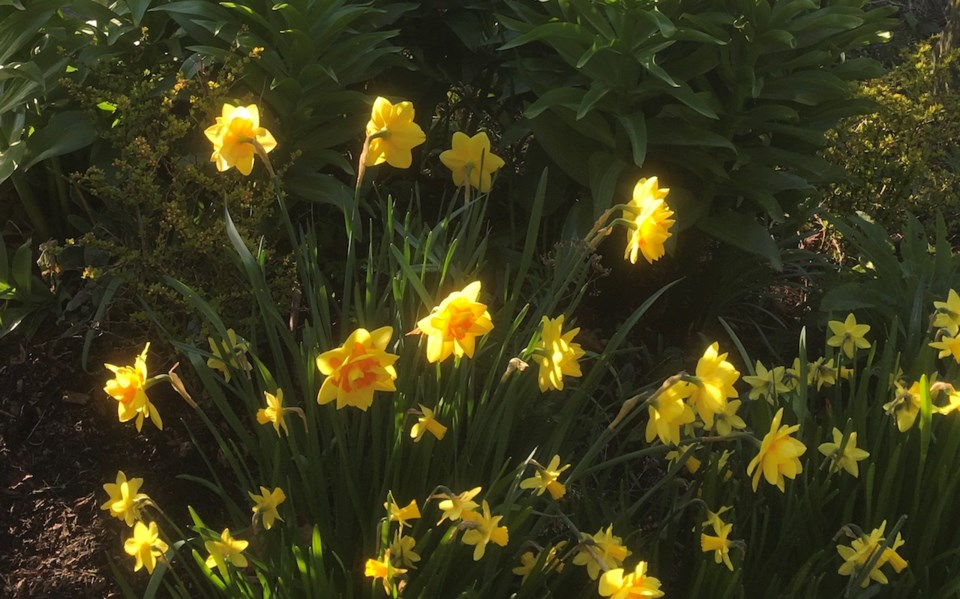 Daffodils like these will be waiting to emerge come spring.