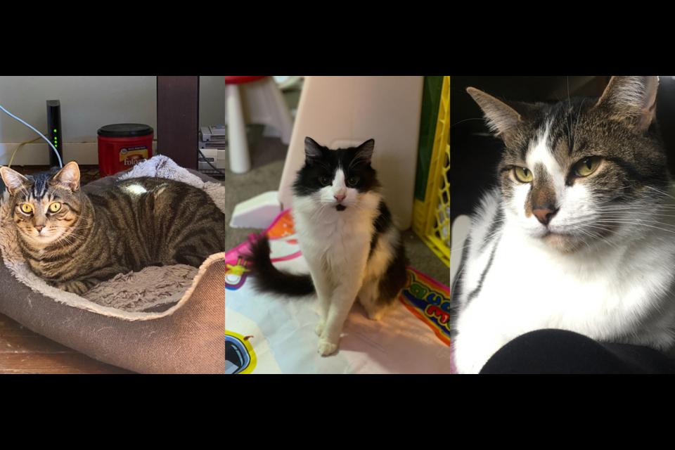 Missing cats Banshee, Joey and Sophia.