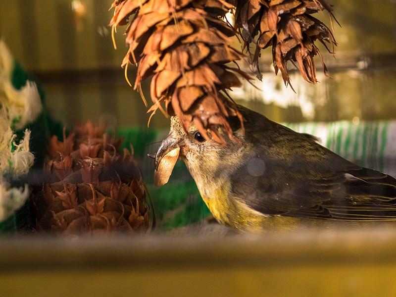 Powell River Orphaned Wildlife Society red crossbill