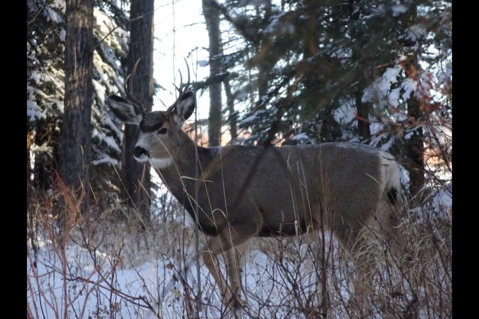 A mule deer in the South Peace.